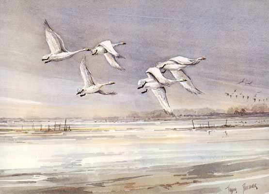 Bewick Swans over the Washes