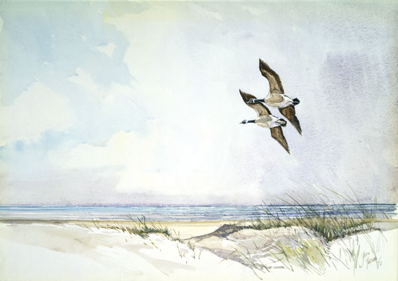 Canada Geese, Blankeney Point, North Norfolk